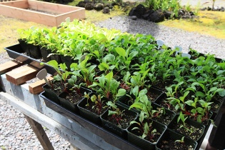 baby greens and in the back, new garden bed, slug proof