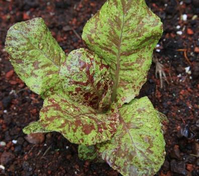 Freckled lettuce